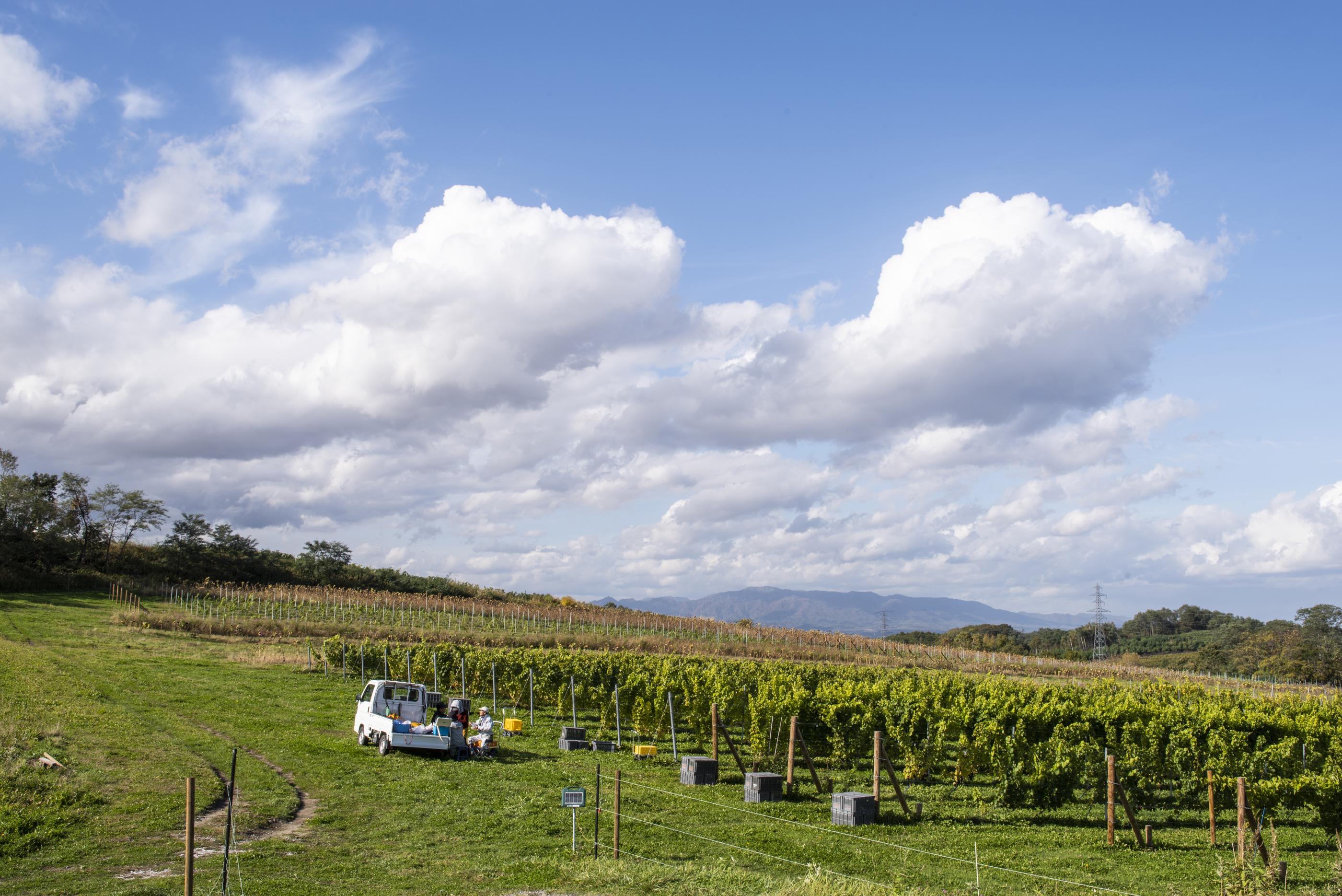 空知の丘のブドウ畑:Hamada Vineyard